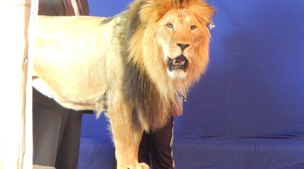 На съемочной площадке сериала «Гранд» появился живой лев